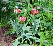 Red And Green Parrot Tulips