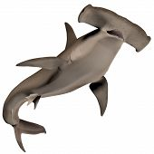 picture of school fish  - Hammerhead sharks usually school during the day and become solitary hunters at night - JPG
