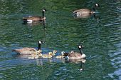 Cute Little Goslings Swimming With Parents