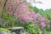 Himalayan Cherry In Doi Inthanon