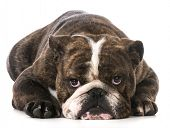 english bulldog laying down looking at viewer on white background