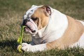 english bulldog playing with tennis ball outside in the grass