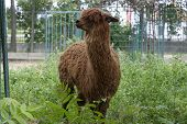 stock photo of lamas  - Beautiful Lama hid behind a tree and feels fine - JPG