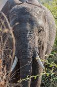 elephant in alert