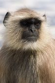 stock photo of hanuman  - Hanuman langur  - JPG