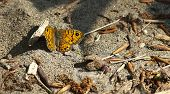 Wall Brown Butterfly (lasiommata Maera)