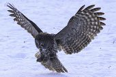picture of nocturnal animal  - Great Grey Owl in flight in a winter landscape - JPG