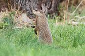 stock photo of groundhog  - Groundhog  - JPG