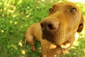 picture of hungarian  - Hungarian pointer in the garden at summer - JPG