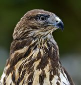 picture of buzzard  - Common Buzzard  - JPG