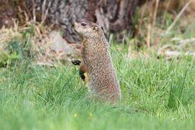 pic of groundhog  - Groundhog  - JPG