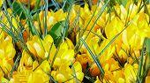 Spring Yellow Crocuses (macro)