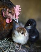 A Hen Is Guarding Her Newly Born Chickens.
