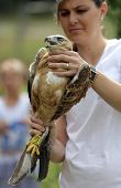Young Long-legged Buzzard In The Hand Of An Environmentalist