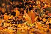 Red Squirrel With Peanut On The Orange Leafs