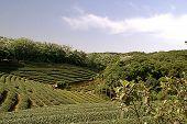 Zhu Feng Tea garden in Taiwan