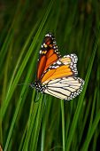 vibrant monarch butterfly on grass