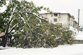 foto of walnut-tree  - Broken walnut tree under the heavy snow - JPG