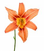 Flowers Lily Isolated On A White Background