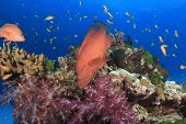 picture of grouper  - Coral reef and Grouper Fish - JPG