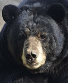 Male Adult American Black Bear Close Up, California