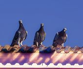 The Pigeon Messengers