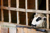 Sheep In Captivity