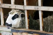 Sheep In Wooden Stable