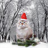 Siberian Cat In Santa Cap