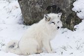 A lone Arctic Fox in a winter scene