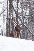 picture of bambi  - Large elk in a winter scene with lots of snow - JPG