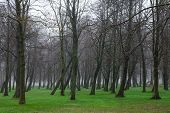 picture of alder-tree  - Moody park with green grass and trees without leaves on foggy day - JPG