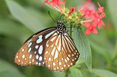pic of butterfly  - Blue Spotted Milkweed butterfly and flowers - JPG