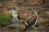 picture of booby  - The blue-footed booby is a marine bird in the family Sulidae, which includes ten species of long-winged seabirds.