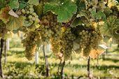 Fresh Organic Grape