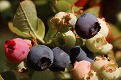 Blueberries on a shrub