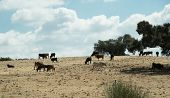 Grazing Cattle In Spain