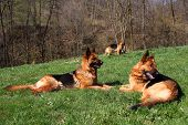 stock photo of german shepherd dogs  - Group of three German shepherds in a farming - JPG