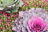 Purple Kale and Chrysanthemums