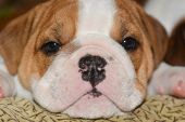 english bulldog puppy looking at viewer