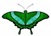 Beatiful Green Butterfly - Papilio palinurus