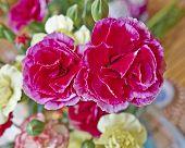 vibrant carnation flowers closeup