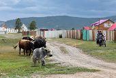 Mongolian cattle