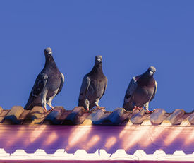 stock photo of pigeon  - Three curious pigeons isolated on blue sky.