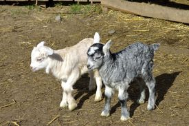 foto of baby goat  - Baby goats at farm in early spring - JPG