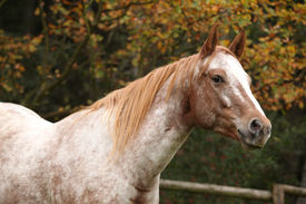 foto of appaloosa  - Potrait of beautiful appaloosa mare in autumn - JPG
