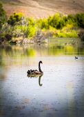pic of black swan  - Black swan swimming on a calm section of the Murray River Australia - JPG