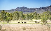 foto of grass bird  - Wild emu birds in the beautiful landscape of Victoria - JPG