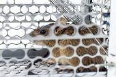 pic of mouse trap  - rat in the cage trap in white background - JPG