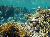 image of fire coral  - coral reef with fire corals at the bottom of tropical sea on a background of blue water underwater - JPG